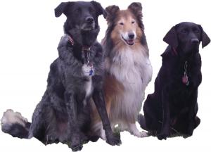 Unsere Namensgeber: July (Labrador), Odin(Labrador-Collie Mischling) und Cassie (Collie)